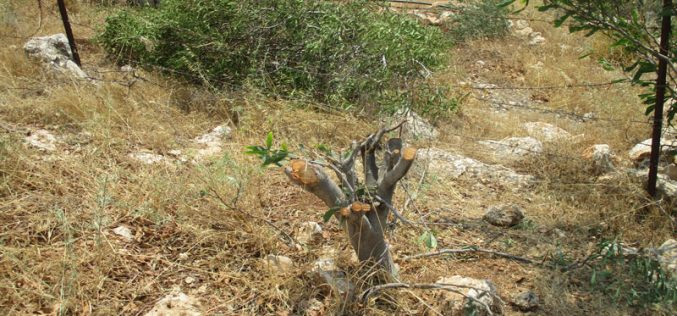 "The Israeli Occupation Uproots 400 trees  and  destroys two cisterns in ""Umm Kbaish""/ Tubas Governorate"