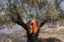 Settles torch 100 aging olive trees in Ein Siniya / Ramallah