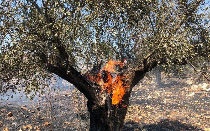 مستعمرون متطرفون يحرقون 100 شجرة زيتون معمّرة في قرية عين سينيا / محافظة رام الله