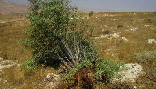 """بحجة أنها محمية طبيعية … الاحتلال يهدم آباراً ويجرف الأراضي ويقتلع مئات الأشجار في منطقة """" أم كبيش"""" / محافظة طوباس"""