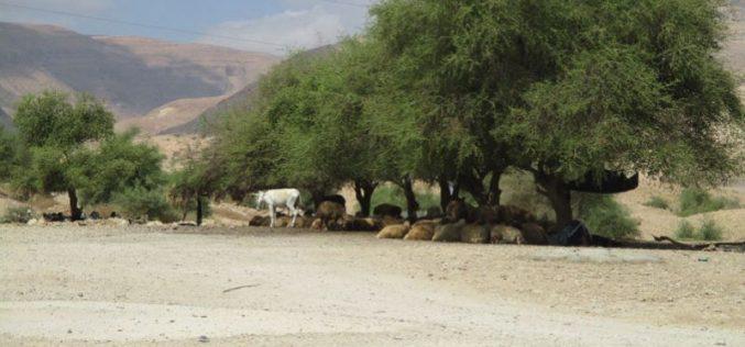 الاقتراب من المراعي الفلسطينية أصبح محفوفاً بالمخاطر بفعل المستعمرين في منطقة رأس العوجا / محافظة أريحا