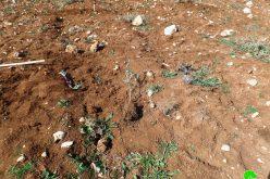 مستعمرون يقتلعون 60 شتلة زيتون شرق بلدة الشيوخ / محافظة الخليل