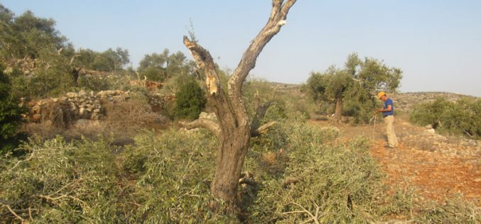 Just in time of olive harvesting season, Israeli settlers steal the harvest of 60 olive trees in Yasouf / Salfit governorate