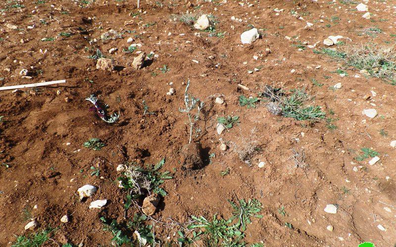 Settlers uproot 60 olive seedlings Ash-Shuyukh