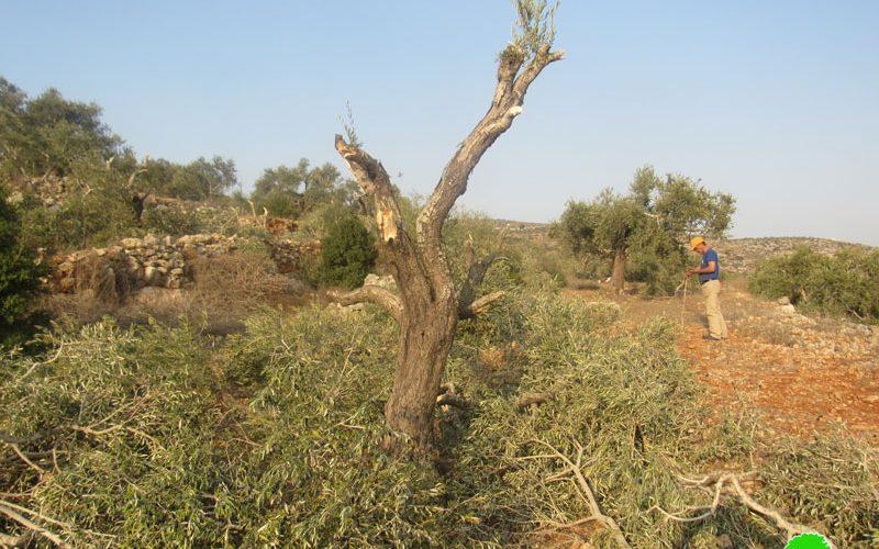 في موسم القطاف … مستعمرون يقطعون 60 شجرة زيتون في قرية ياسوف / محافظة سلفيت