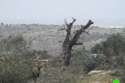 "Settlers of ""Bruchin"" sabotage 15 aging olive trees in Kafr Ad-Dik / Salfit governorate"