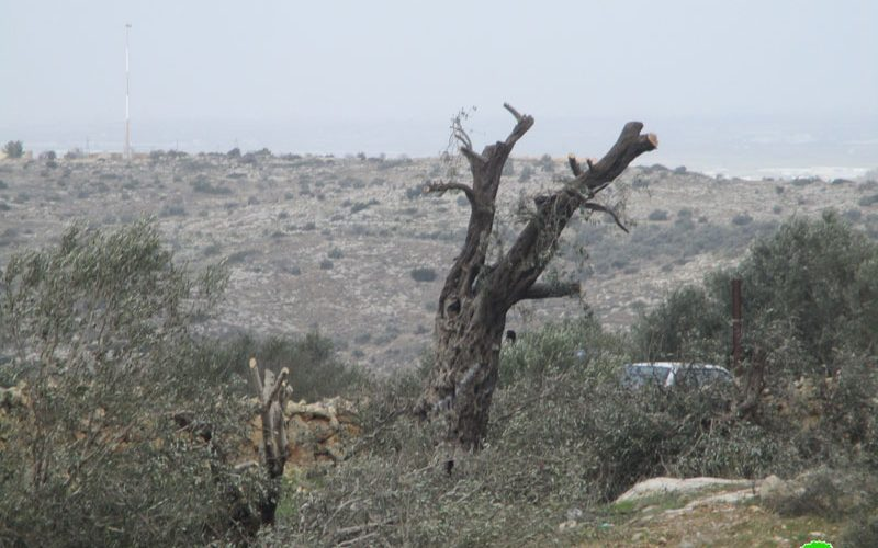 """Settlers of """"Bruchin"""" sabotage 15 aging olive trees in Kafr Ad-Dik / Salfit governorate"""