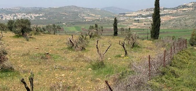 """Israeli Violations in the time of Corona:""""Adei Ad"""" settlers cut down 180 fruitful olive trees/ north Ramallah"""