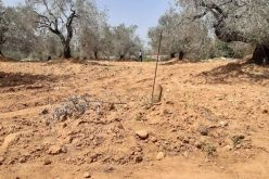 "Israeli violations in the time of Corona: Settlers of ""Nireya"" cut down 51 olive saplings of Ras Karkar village north Ramallah"