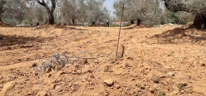 "Israeli violations in the time of Corona:Settlers of ""Nireya"" cut down 51 olive saplings of Ras Karkar village north Ramallah"