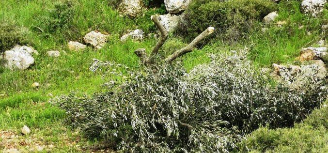 الانتهاكات الاسرائيلية في ظل كورونا:المستعمرون ينفذون عدداً من الاعتداءات على مواطني بلدة يطا وممتلكاتهم / محافظة الخليل