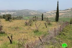 "Israeli Violations in the time of Corona: ""Adei Ad"" settlers cut down 180 fruitful olive trees/ north Ramallah"