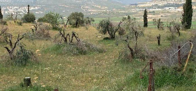 """الانتهاكات الإسرائيلية في ظل كورونا:مستعمرو مستعمرة """" عادي عاد"""" يقطعون 180 شجرة زيتون مثمرة شمال مدينة رام الله"""
