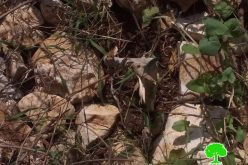 """Kedumim"" settlers sabotage 31 olive saplings / Qalqilya governorate"