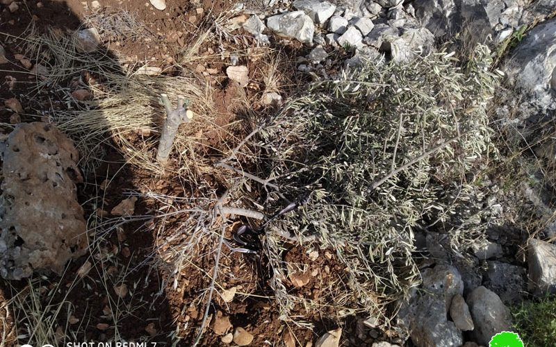 """Settlers of """"Revava"""" cut down 150 olive saplings in Haris Vallage / Salfit governorate"""