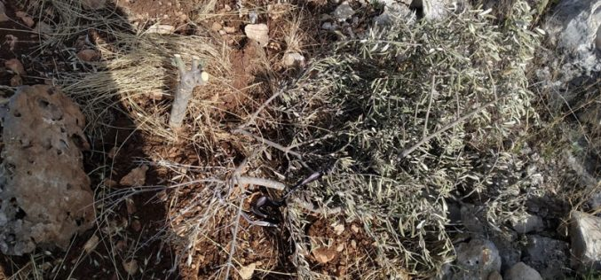 "Settlers of ""Revava"" cut down 150 olive saplings in Haris Vallage / Salfit governorate"