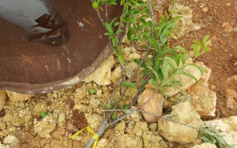 إتلاف 35 شتلة زيتون ولوزيات من أراضي قرية المغير في محافظة رام الله