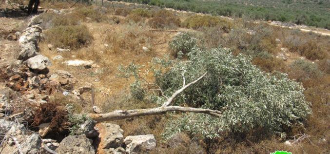 الاحتلال يقتلع 180 شجرة زيتون و يدمر جدران استنادية في بلدة ديرستيا بمحافظة سلفيت