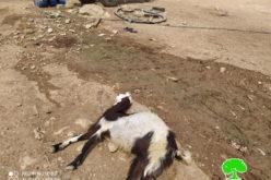 مستعمرون يسممون53 رأساً من الأغنام في منطقة العوجا / محافظة أريحا