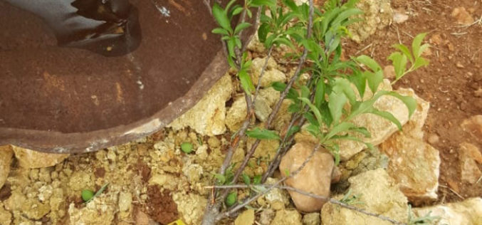 Settlers sabotage 35 olive and almond saplings in Al-Mughayyir village / Ramallah governorate
