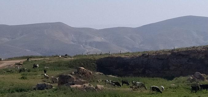 مستعمرون يطلقون أبقارهم في الأراضي الزراعية بمنطقة واد المالح / محافظة طوباس