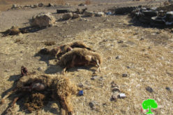 Colonists Poison Sheep in Khierbet Jib'it / Ramallah governorate