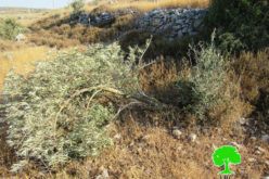 الاحتلال الإسرائيلي يشرع بقطع 142 شجرة زيتون في قرية ياسوف / محافظة سلفيت
