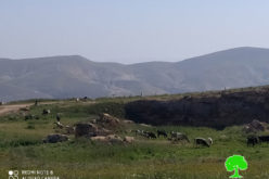 Settlers release their cows in Wad Al-Malih area / Tubas governorate