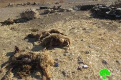 نفوق عدداَ من الماشية أثناء رعيها في حقول زراعية سممها مستعمرون في خربة جبعيت / محافظة رام الله
