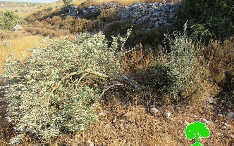 The Israeli Occupation Cuts 142 olive trees in Yasouf village / Salfit governorate