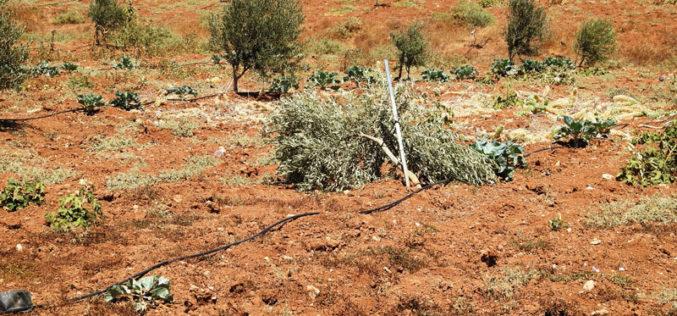 مستعمرون يقتلعون حوالي 340 شتلة بمنطقة التوامين شرق يطا بمحافظة الخليل