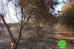 إحراق 13 دونماً من الأراضي المزروعة بالجوافة والحمضيات في قرية حبلة / محافظة قلقيلية