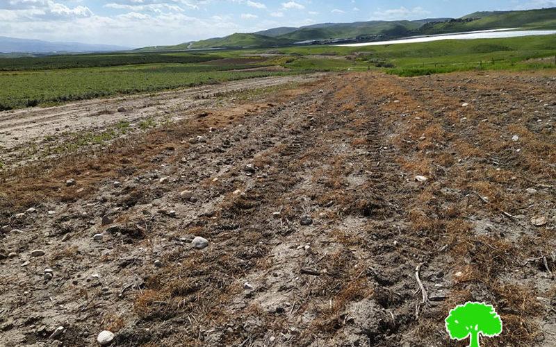 إتلاف 12 دونماً مزروعة بالقمح عبر رشها بمادة سامة في منطقة الساكوت / محافظة طوباس