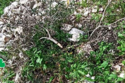 """Kedumim"" settlers destroy 20 olive seedlings in Kafr Qaddum / Qalqilya Governorate"