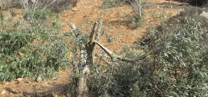 مستعمرون يقطعون ويخربون أشجار زيتون في بلدة كفر الديك بمحافظة سلفيت