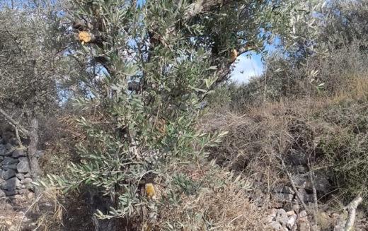 """مستعمرو مستعمرة """" بروخين"""" يتلفون أشجار زيتون في بلدة كفر الديك غرب سلفيت"""