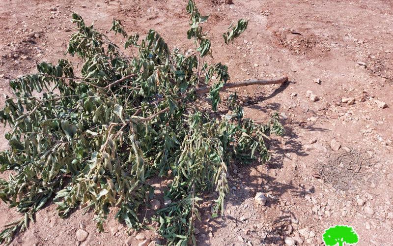 """مستعمرون يتلفون أشجار ويدمرون أراضي في منطقة """" خلة حسان"""" بمحافظة سلفيت"""