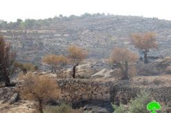 الاحتلال يمنع المزارعين من جني ثمار الزيتون في قرية برقة بمحافظة رام الله