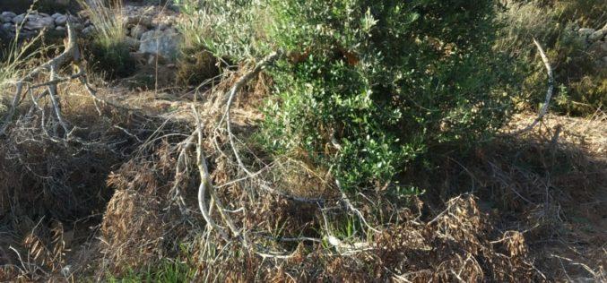 """مستعمرو """"بيت عاين"""" يقطعون 60 شجرة زيتون من أرض عائلة أبو صبحة في قرية الجبعة / محافظة بيت لحم"""
