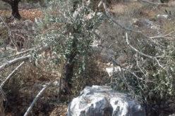 Bruchin colonists sabotage olive trees in Kafr Ad-Dik west Salfit