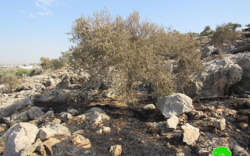 """""""Leshem"""" colonists set 23 dunums of olive groves on fire in Deir Ballut / Salfit governorate"""