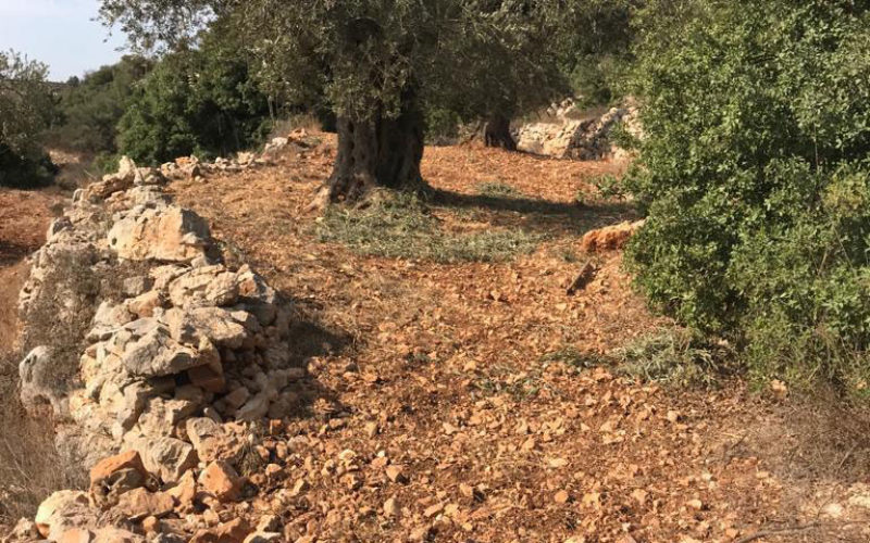 في موسم القطاف مستعمرون يسرقون ثمار الزيتون في قرية عين يبرود / محافظة رام الله