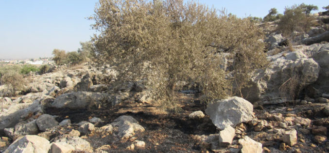 """Leshem"" colonists set 23 dunums of olive groves on fire in Deir Ballut / Salfit governorate"