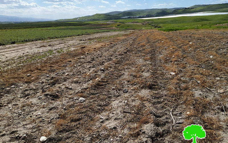 Poisoning 12 dunums of wheat in As-Sakut area / Tubas governorate