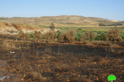 Fire ate up 104 olive trees in Turmusayya / Ramallah governorate