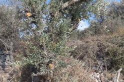 Bruchin colonists sabotage olive trees in Kafr Ad-Dik west Salfit