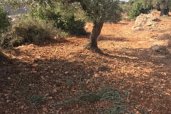 During the Olive harvesting season, Colonists looted olives from an olive grove in Ein Yabrud / Ramallah Governorate