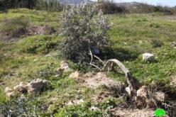 الاحتلال يقتلع أشجار ويجرف أراضي في بيت أمر شمال الخليل