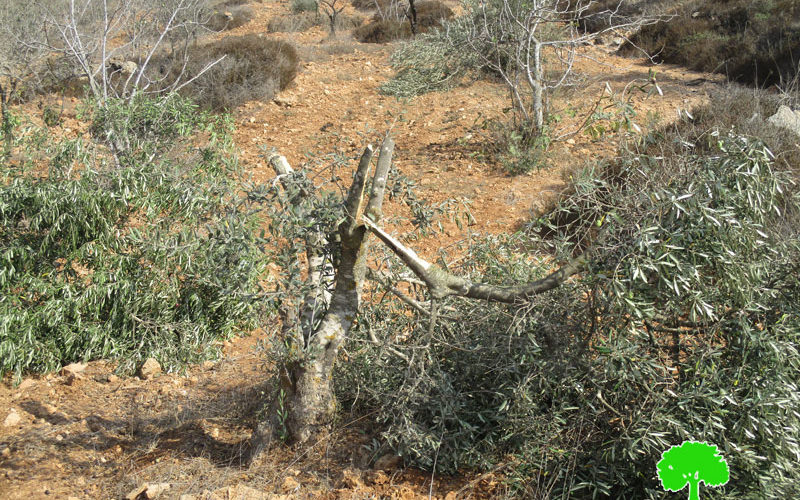 Israeli Settlers cut off and kill olive seedlings in Salfit governorate