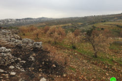 Efrat colonists set fire to 60 Olive trees in Al-Khader / Bethlehem governorate